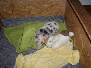 Ferkel schlafen, wie alle Babys, viel. Ob eingepackt in Handtüschenr,