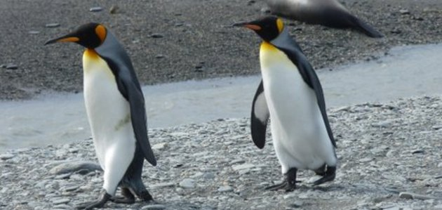 Pinguinspaziergang_-a.huml-