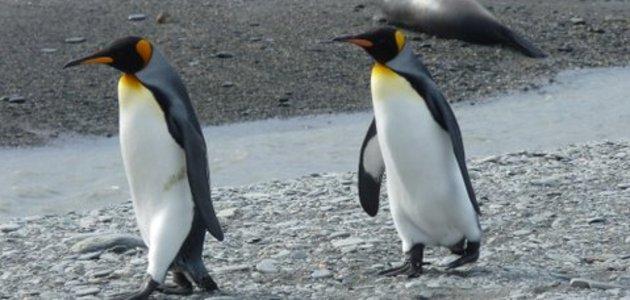 Pinguinspaziergang_(a.huml)