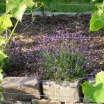 Lavendel verträgt sich gut mit den Rebstöcken