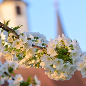 Kirschblüte im Klostergarten (Foto: CMR)